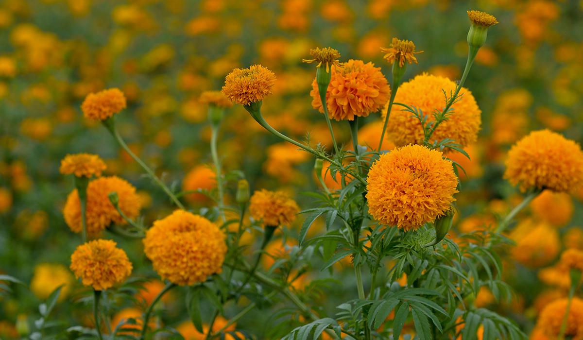 Flor cempasuchil