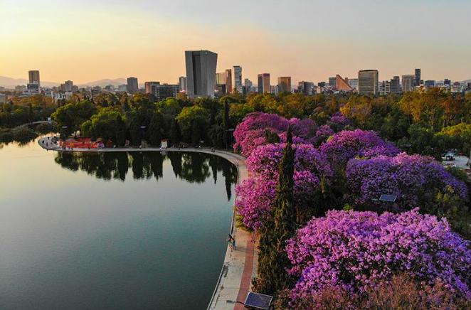 Chapultepec, jacarandas