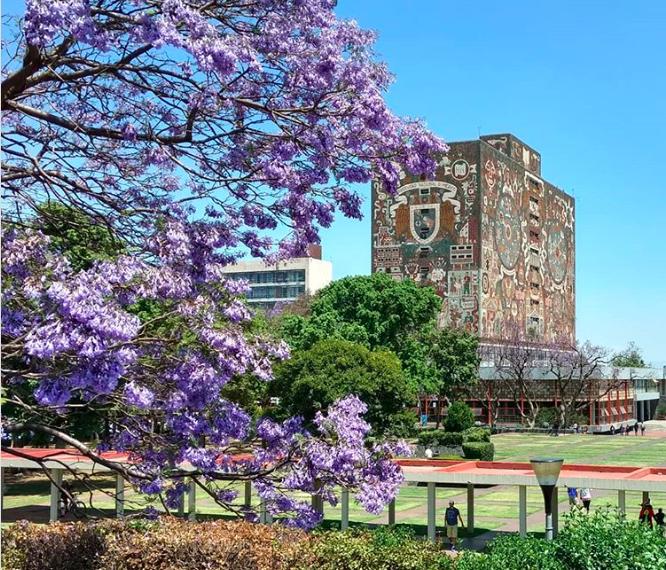 Ciudad Universitaria, jacarandas